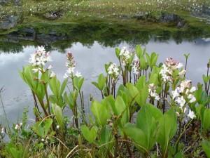 Acıtırfıl (Menyanthes Trifoliata)