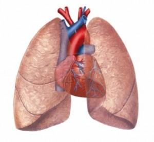 Akciğer (Pulmonarius)