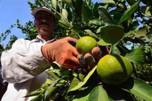 Meyve Bahçesi İşçisi