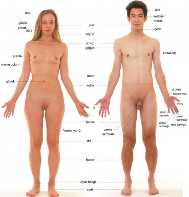 insan-anatomisi