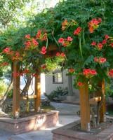 Acem borusu bahçe duvarı çiçekli sarmaşık süs bitkisi