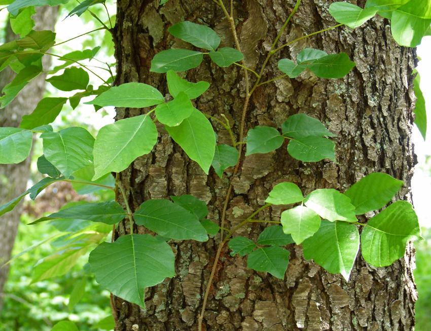 Ağaca tırmanan sarılan sarmaşık bitkisi