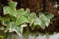 Alaca yapraklı yıldız marekian ağaç ve duvar sarmaşığı
