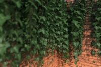 Amerikan bahçe duvar sarmaşığı