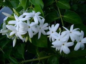 Beyaz renkli çiçekli arap sarmaşığı