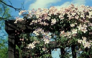 Beyaz renkli çiçekli klamatis bahçe duvar sarmaşığı