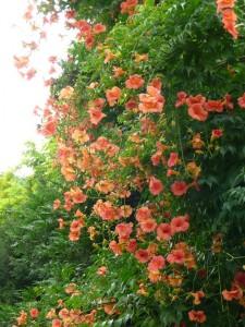 Campsis radicans turuncu bahçe duvar sarmaşığı btikisi