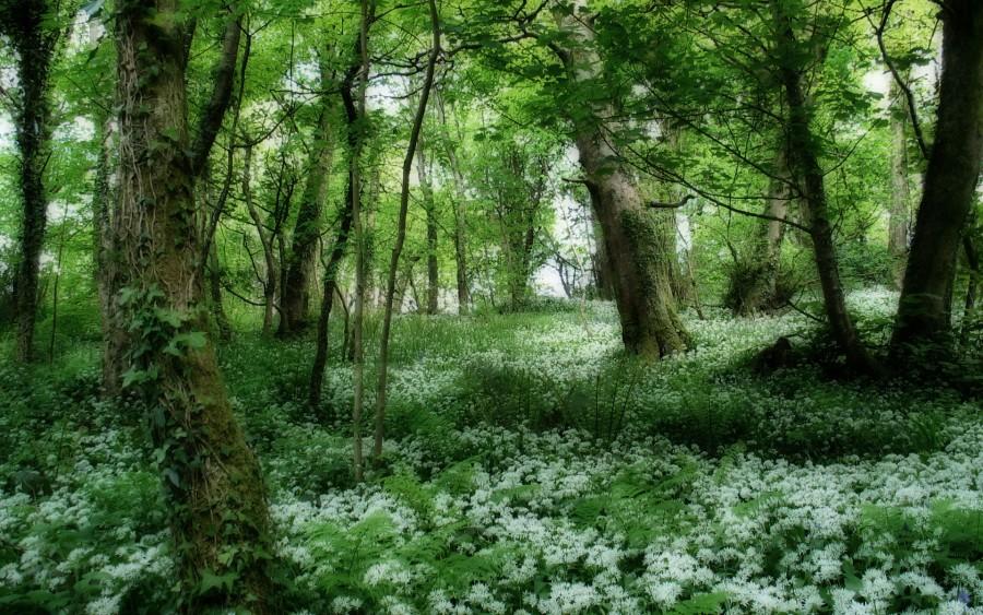 Çiçeksiz yeşil yapraklı çok yıllık sarmaşık bitkisi