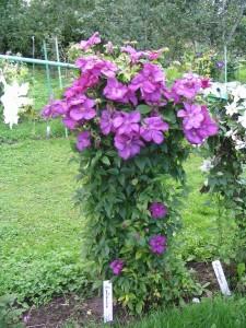 Clematis mor çiçekli bahçe sarmaşığı bitkisi