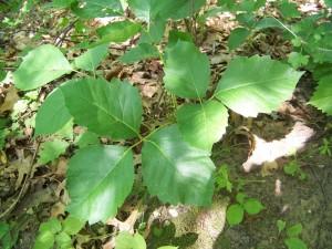 Geniş yapraklı dikensiz uzayan bahçe duvar sarmaşığı