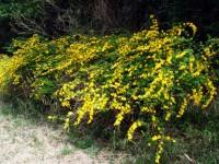 Sarı renkli kanarya gülü kerria japonica bahçe ve duvar süsleme sarmaşığı bitkisi
