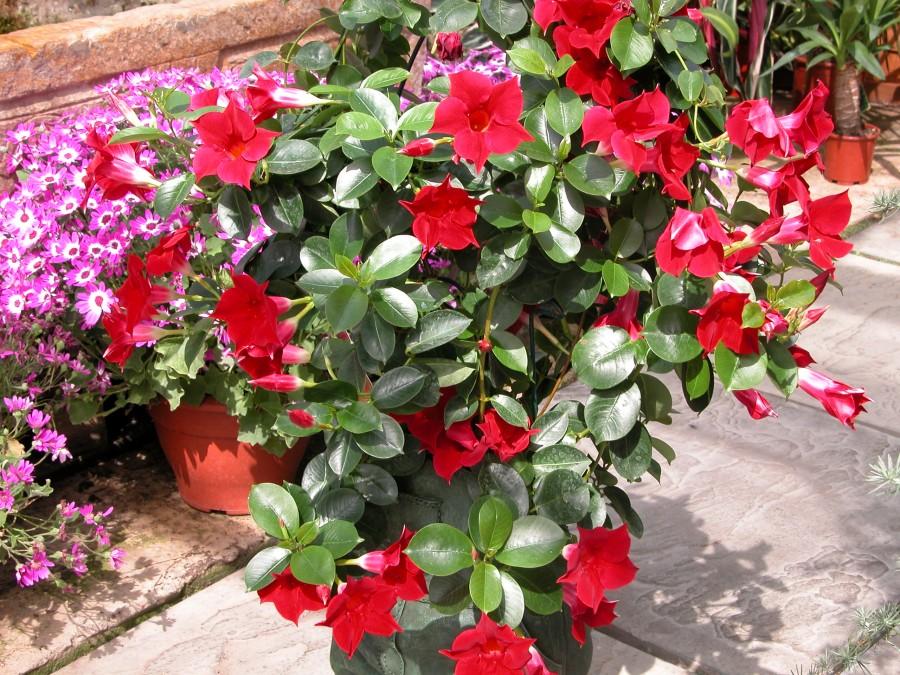 Kırmızı renkli çiçekli mandevilla dipladenia kalın yapraklı duvar bahçe sarmaşığı bitkisi