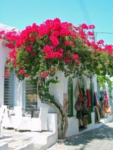 Kırmızı çiçek renkli begonvil ağaç duvar bahçe sarmaşığı