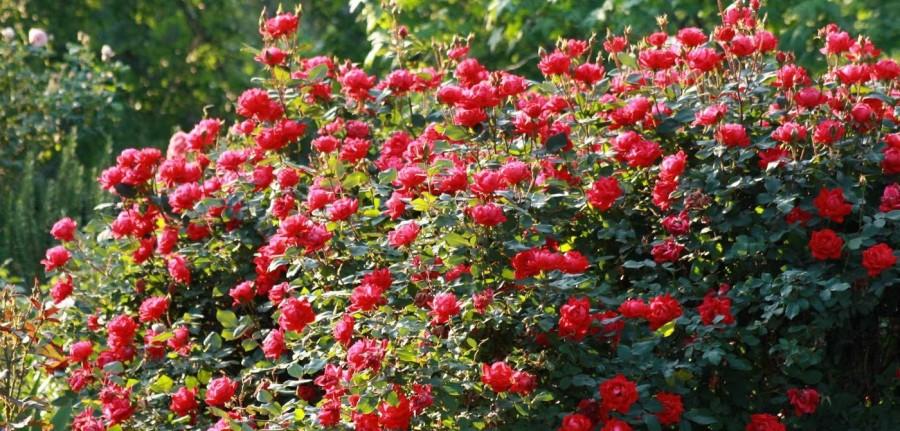 Kırmızı renkli peyzaj gülü sarmaşık bitkisi