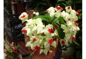 Kırmızı beyaz kızılay çiçekli clerodendrum thomsoniae bahçe sarmaşık bitkisi