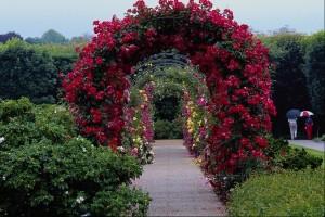 Küçük kırmızı çiçekli bahçe gülü sarmaşığı