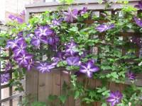 Lila rengi çiçekli klamatis sarmaşık bitkisi