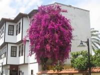 Mor renkli çiçekli begonvil ağaç bahçe süs sarmaşığı