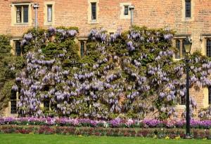 Mor salkım çiçekli wisteria sinensis ağaç bahçe duvar sarmaşık süs bitkisi