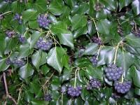 Mor meyveli koyu yeşil yapraklı ağaç bahçe duvarı sarmaşığı