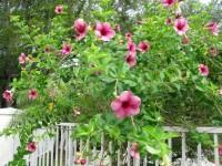 Uzun yapraklı pembe renkli çiçekli ağaç bahçe duvarı sarmaşık bitkisi