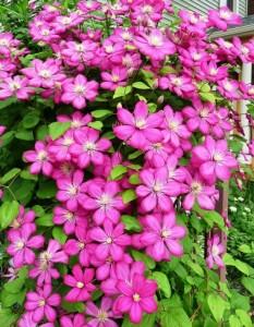 Pembe renkli çiçekli klamatis sarmaşığı bitkisi