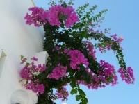 Pembe renkli sarkan çiçekli bahçe sarmaşığı