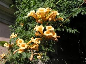 Sarı renk çiçekli campsis radicans peyzaj sarmaşığı