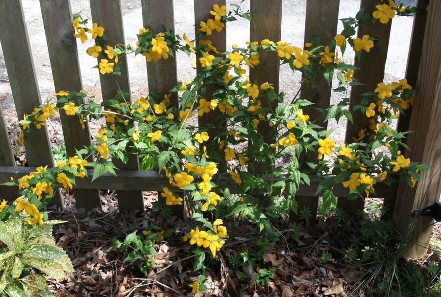 Sarı renkli kanarya çiçeği bahçe süs sarmaşığı