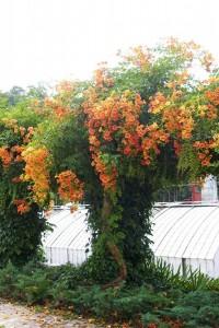 Turuncu çiçekli renkli acem borusu saksı ağaç bahçe duvarı sarmaşığı