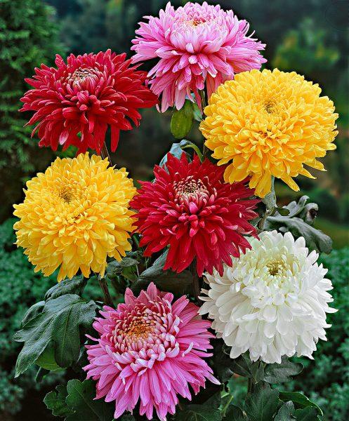 Birleşikgillerden (Asteraceae) familyasının Chrysanthemum cinsini oluşturan 100 kadar bitki türünün ortak adı.
