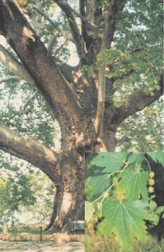 Çınar Ağacı