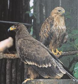 Şahin (Yırtıcı kuş)
