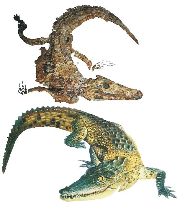 Timsah iskeleti fosili