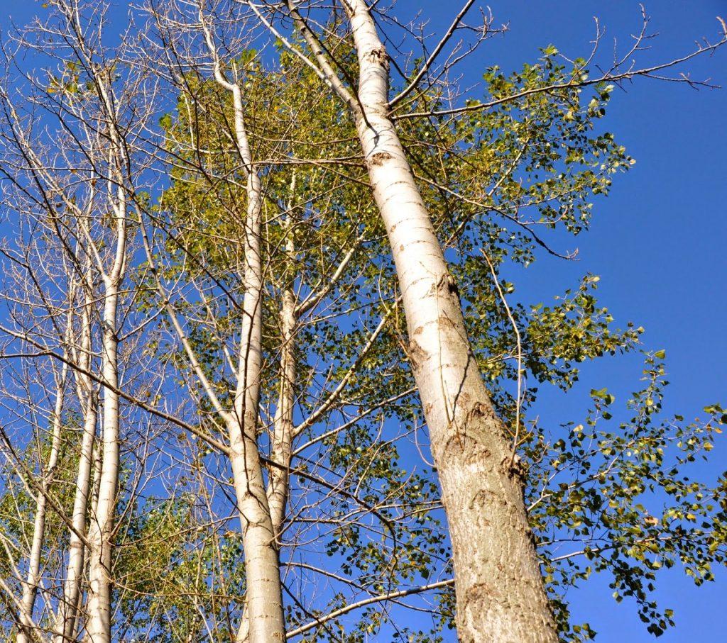 Kavak ağacı