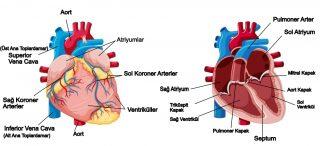 Kalbin yapısı ve çalışması
