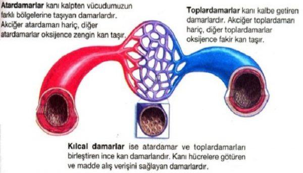 Kan damarları ve görevleri